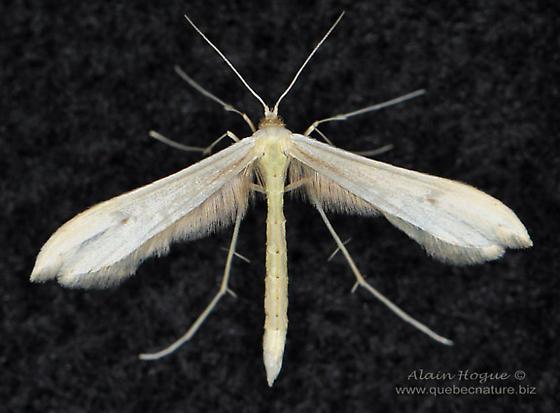 Hellinsia lacteodactylus ? - Hellinsia
