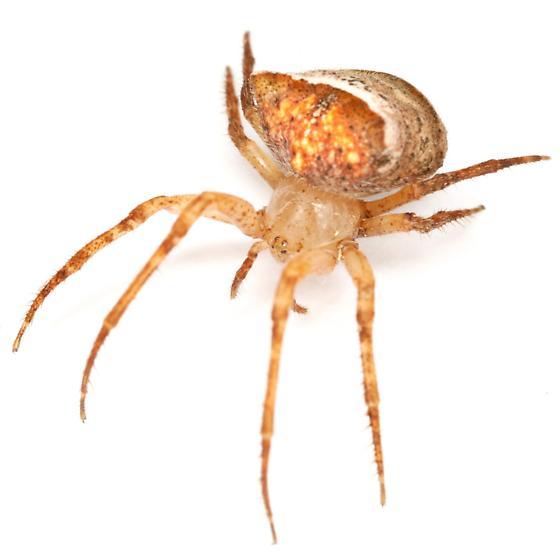 Araneus miniatus ? - Araneus