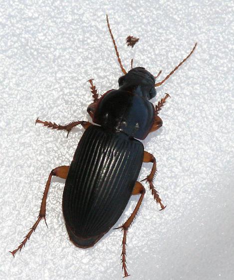 Ground Beetle - Harpalus