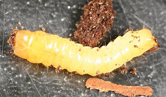 beetle larva - Synchroa punctata