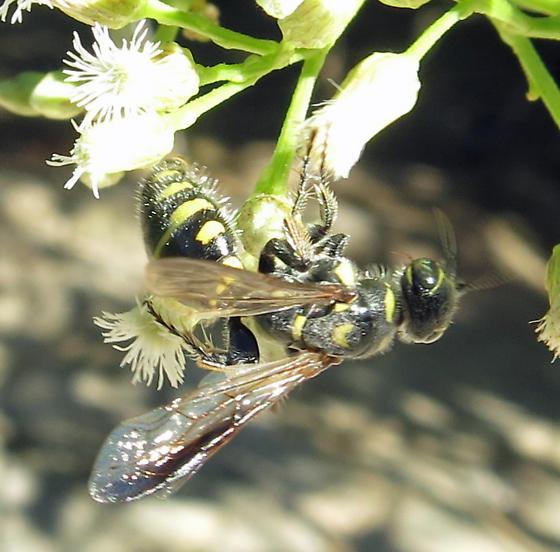 Thynnid Wasp - Myzinum maculatum - female