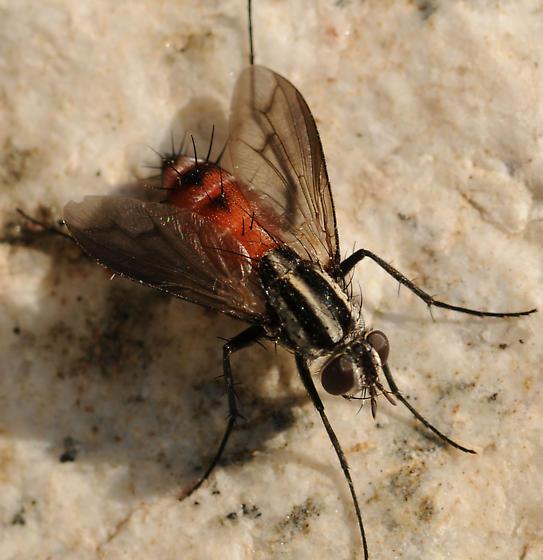 Vanderwulpia atrophopodoides