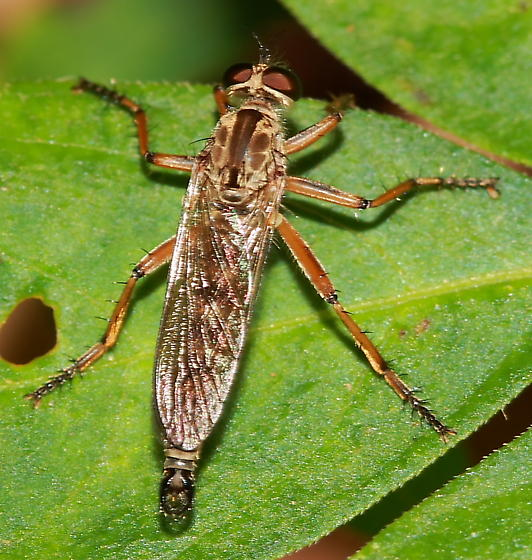 Robber Fly - Philonicus rufipennis
