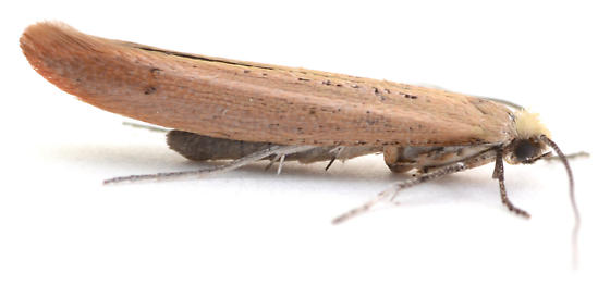 Moth reared from Ribes sp. - Euhyponomeutoides gracilariella