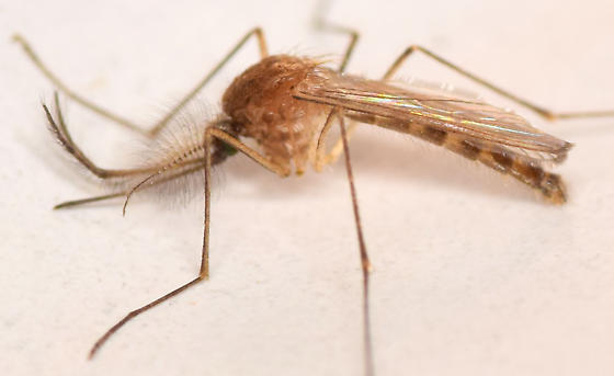 northern house mosquito - Culex pipiens - male