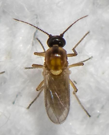 Fly ID request - Atrichopogon - female