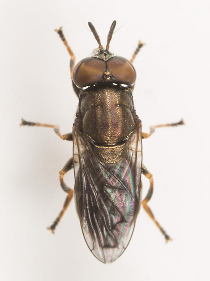 Fly - Orthonevra - male