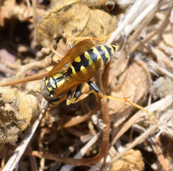 Polistinae wasp? - Polistes dominula