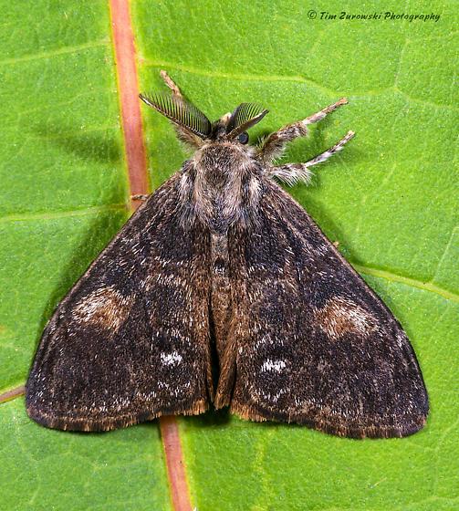 Unknown Moth - Orgyia pseudotsugata - male