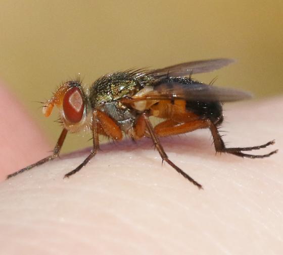 Tachinidae?