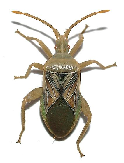 True Bug under dead Opuntia pad, Chelinidea vittiger? - Chelinidea hunteri - male