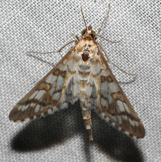 pretty brown-white checkered moth - Epipagis disparilis