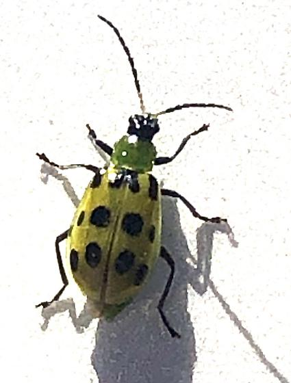 ? Cucumber beetle