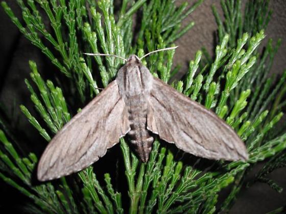 Sphinx sequoiae - Hodges#7814 (Sphinx sequoiae) - Sphinx sequoiae