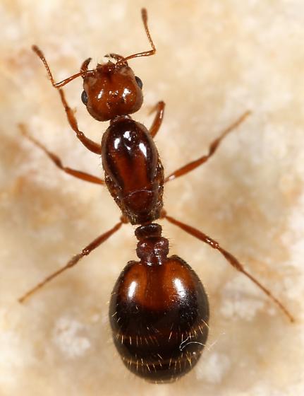 Queen - Solenopsis invicta