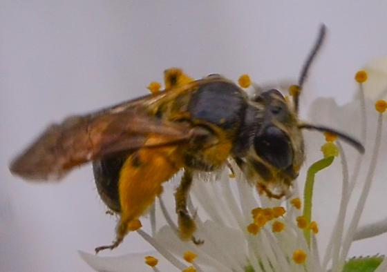 Halictus sp.? halictid bee - Andrena nuda