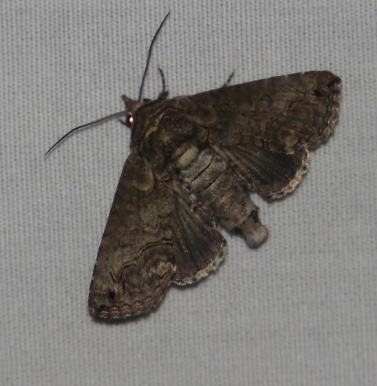 Moth - Paectes abrostoloides - female