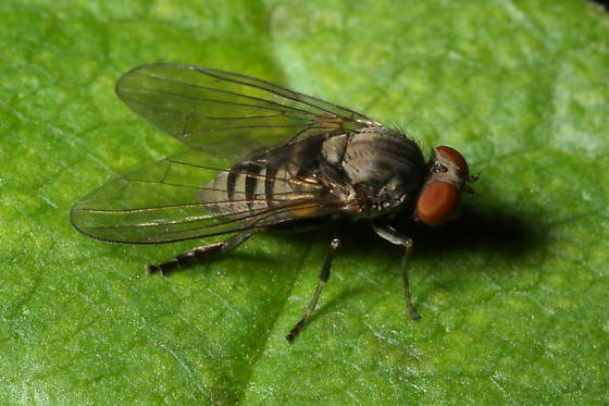 Flat-footed Fly - Platypeza - female