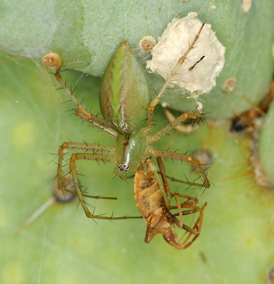 Green Lynx spider with prey on cactus - Peucetia longipalpis - female