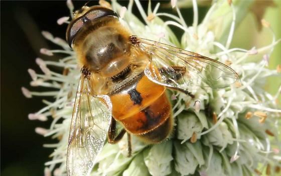 a syrphid fly? - Eristalis tenax - male