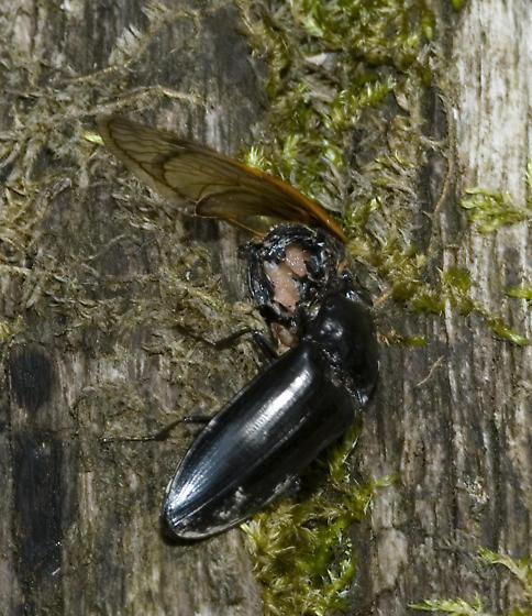 Cicada bounty - Melanactes piceus