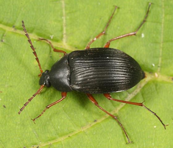 beetle - Pseudocistela brevis - female