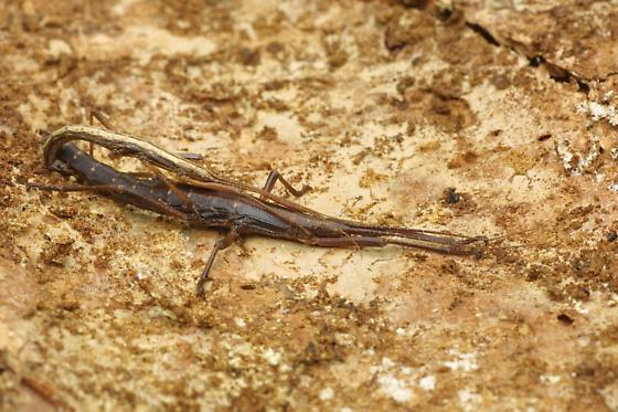 Two-striped Walkingstick, mating - Anisomorpha buprestoides - male - female