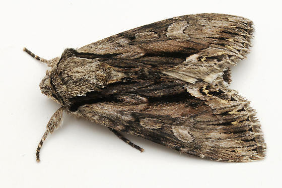Dart Moth With a Brown Cat - Hyppa xylinoides