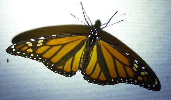 Danaus plexippus - Monarch - Danaus plexippus - female