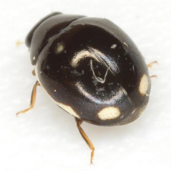 Hyperaspis lateralis Mulsant  - Hyperaspis inflexa