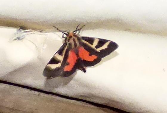 4/8/18 moth 2 - Apantesis figurata
