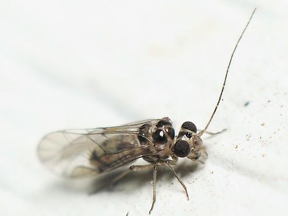 Metylophorus sp.? - Blastopsocus variabilis - male