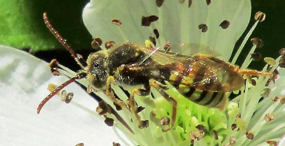 Bee 427 - Nomada
