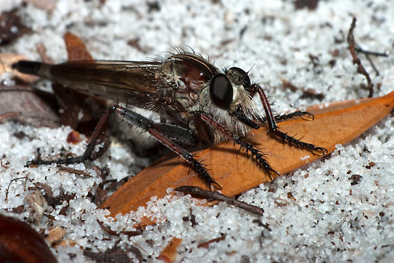 Another robber fly - Proctacanthus brevipennis