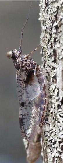 Mayfly 1 - Siphloplecton basale