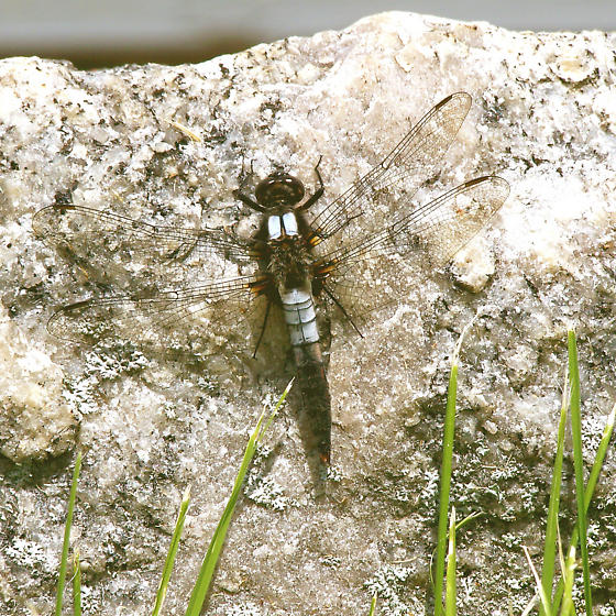 A dragonflly? - Ladona julia - male