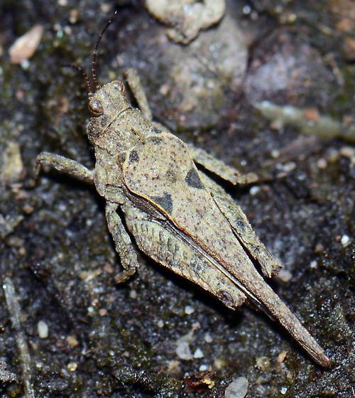 Grasshopper? - Tetrix ornata