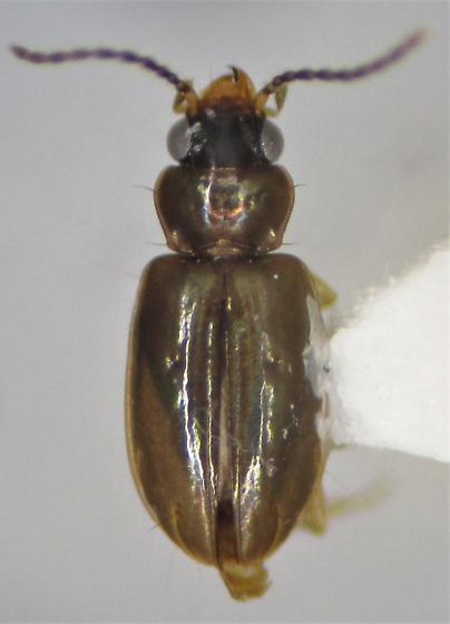 Paratachys sagax - Tachys sagax - female