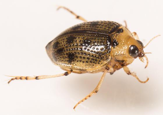 Beetle - Peltodytes