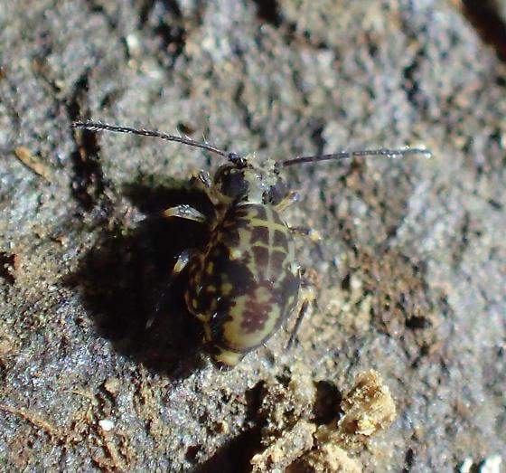 Ptenothrix - Ptenothrix beta