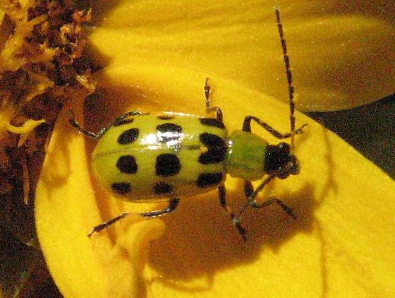 Ladybug? - Diabrotica undecimpunctata