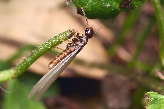winged termite?