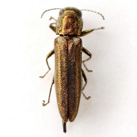 Agrilus cephalicus LeConte - Agrilus cephalicus