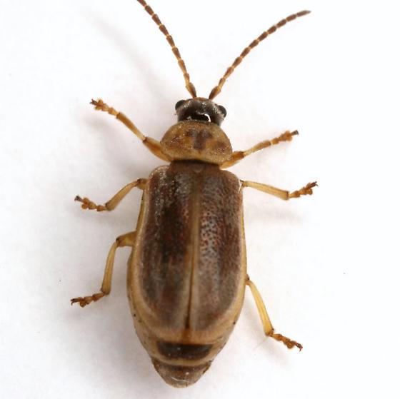 Tricholochmaea decora (Say) - Tricholochmaea decora