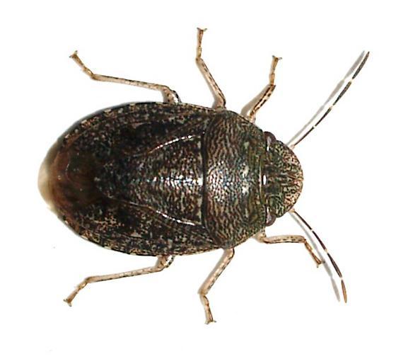 Shield bug? - Lineostethus tenebricornis