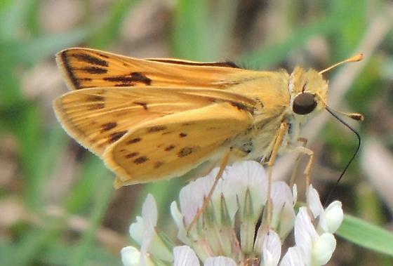 yellow skipper? on white dutch clover - Hylephila phyleus - male