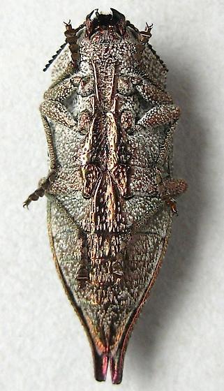 Metallic Wood Boring Beetle - Dicerca callosa