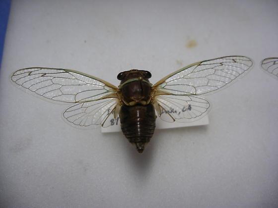 Cicada- male - Diceroprocta apache - male