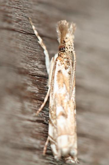 Moth - Prionapteryx serpentella