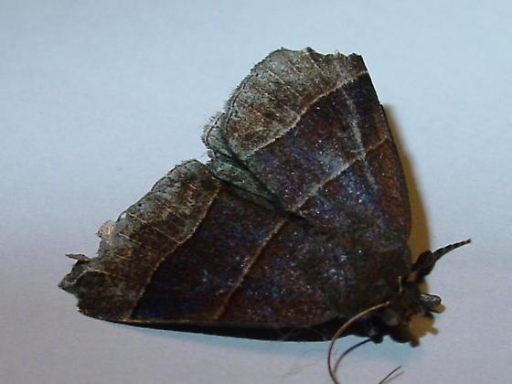 Garage Moth Parallelia Bistriaris